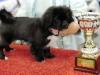 BIS baby Celje Tibet Dog